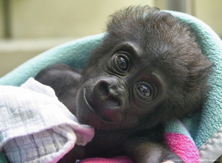 Luxury Image detail for Gorilla Baby Mary Zwo At Stuttgart Zoo