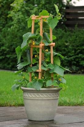 'Patio Snacker' cucumber needs a trellis for its 4- to 5-foot vines. The seeds are for sale at multiple mail-order gardening sites.