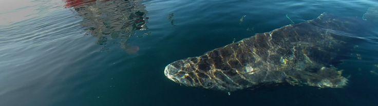 Ein Grönlandhai schwimmt an einem Schiff vorbei | Bildquelle: dpa