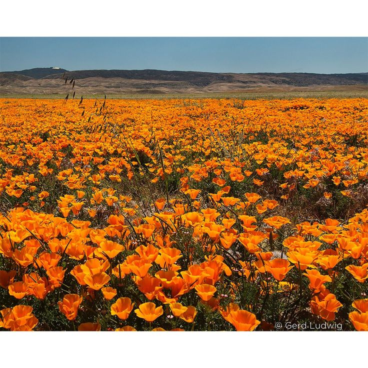 """42.7k Likes, 167 Comments - @thephotosociety on Instagram: """"Photo by @gerdludwig // After a spectacular wildflower season, the Antelope Valley California Poppy…"""""""