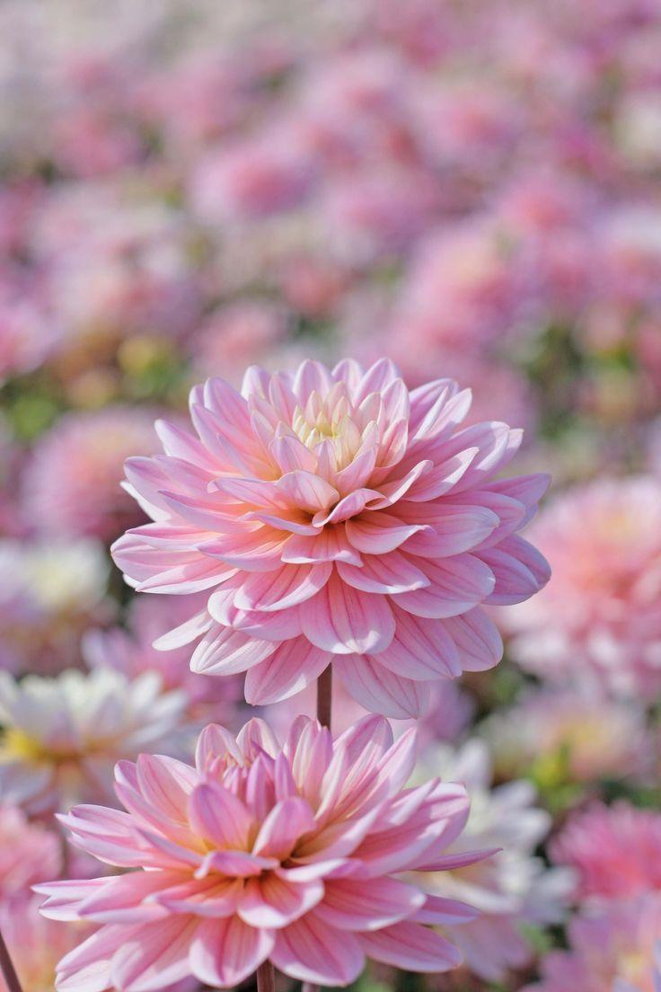 Dahlia Miracle Princess Sweet Pink Pastel Color Pinkflowers Dahlia Dahlias Gardening Planting Plantingtime G Flower Farm Bulb Flowers Beautiful Flowers