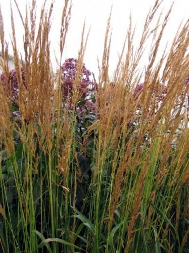 plant suggestions calamagrostis x acutiflora karl foerster tall - Hinterhoflandschaften