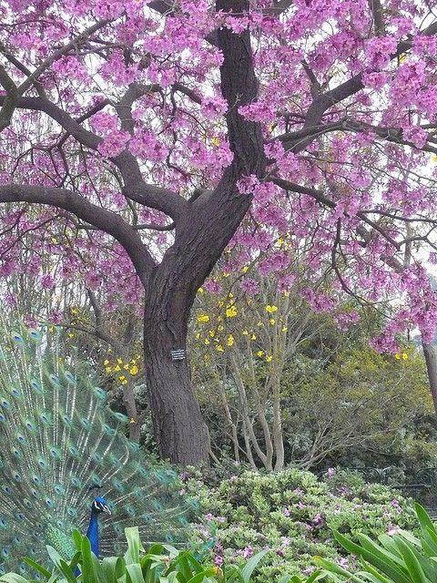 Peacock by Purple Tree 1