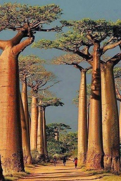 Madagascar's amazing baobabs.
