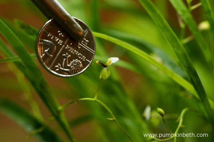 Ornithophora radicans in flower in my BiOrbAiR terrarium on 30th September 2015.  Pictured with a British five pence piece to show the size of the flower.
