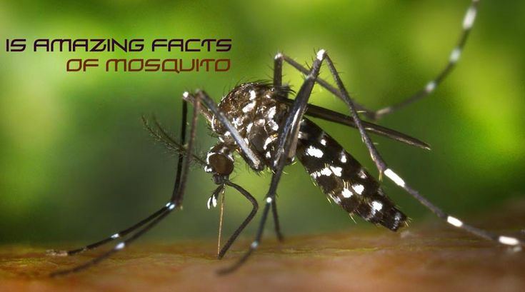 Mosquitoes are the amazing insects in all over the world. Most amazing fact is only female mosquito bite humans and male mosquito only suck the plant nectar.