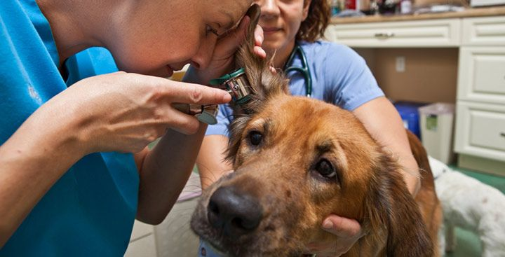 dog ear infection symptoms - 720×367