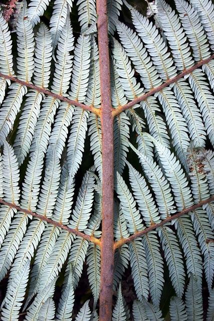 Cyathea dealbata  Silver fern. The National emblem of New Zealand