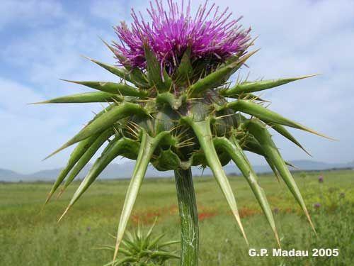 Cardo mariano-  Silybum marianum (L.) Gaertner  Famiglia Compositae (=Asteraceae)  Nome comune  Cardo mariano    Nome Sardo  Cadrubiancu(Villacidro),Ardubiancu(Sedilo – Bolotona),Brentèdda(Nuorese,Cardutùvuru(Sindia), Cardutuvudu(Sarcidano),Cardufuvu(loc. div.),Cardutufu(Oristanese),Cardutuvu(Bosa),Gardudecorte(Logudoro).    Fioritura: maggio-giugno