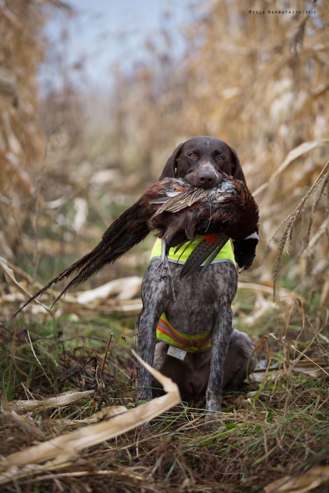 My favorite hunting is photography, as well as beloved profession. So I shoot with my camera in the fields as well and dogs do ...