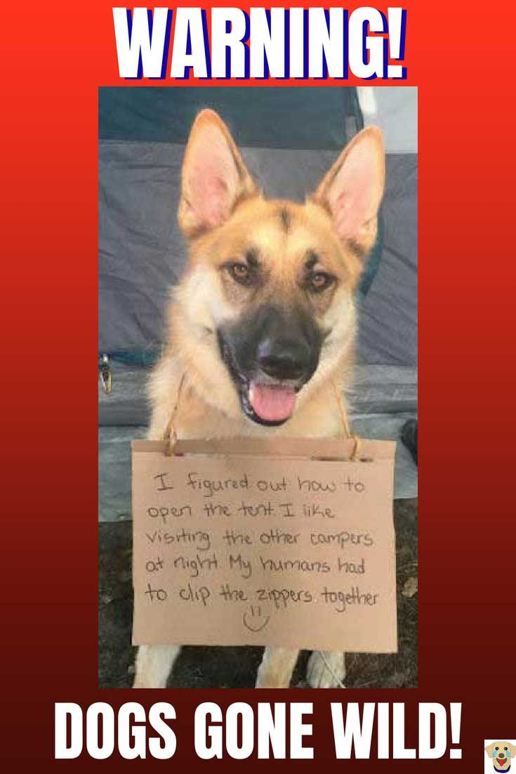 The Funniest Dog Shaming Pics 20 Dog Pictures With The Sign And The Bad Dog Dog Shaming Funny German Shepherd Funny Dog Shaming