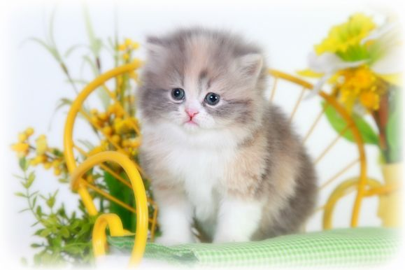 Dilute Calico Teacup Persian Kitten