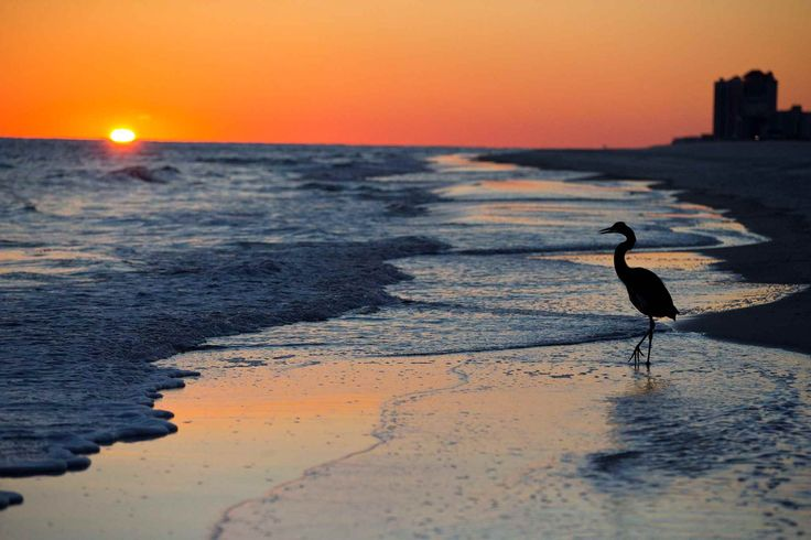 ORANGE BEACH, ALABAMA A blue heron walks along the beach at sunset. Best pictures of the week: November 21, 2014
