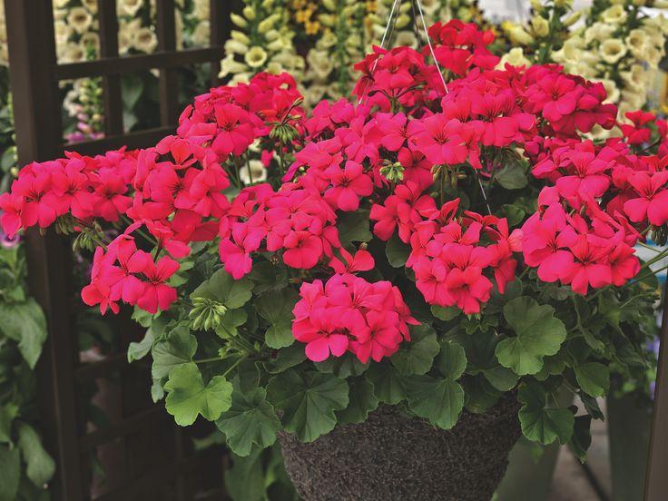 Riippupelargonia 'Caliente Hot Rose'