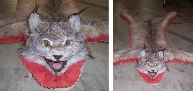 Recognize this wild cat? If you can prove this item belongs to you, please contact EPSpinterest@edmontonpolice.ca with specific details that identify the item, as well as any form of proof that it belongs to you. Only individuals providing specific information will be contacted.