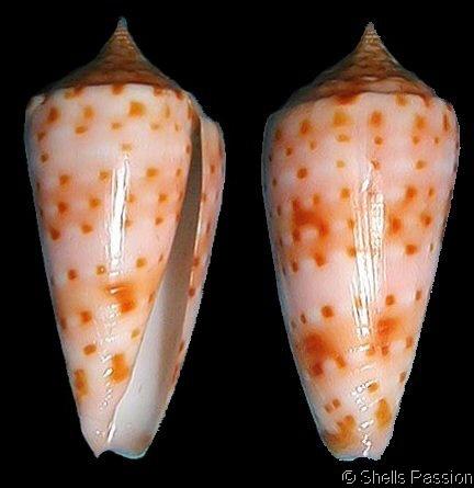 Asprella richeri  Richard, G. & R.G. Moolenbeek, 1988 Shell size 32 - 54 mm New Caledonia; Chesterfield Islands
