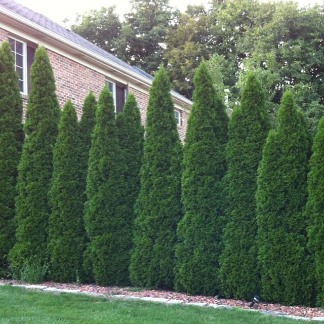Wall of tall bushes great for privacy this is what i for Great bushes for landscaping
