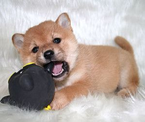 Dogspuppiesforsalecom liked | bebe-shiba-inu-donne-arnaque Getting a dog or a puppy as a new addition to your family is an excellent decision! You're adding another member that can provide lots of love and enjoyment! This is a relationship you'd want to make sure that you're doing right the first time around. You'll need to find out what makes your dog happy what are the things to look out for and basically how to give them a long and fulfilling life. This is what dogs puppies for sale is…