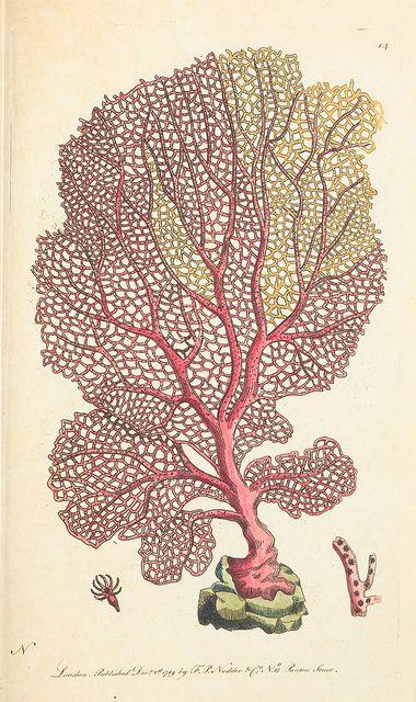 Gorgonia flabellum