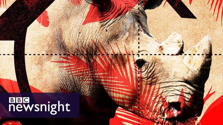 How can we tackle the problem of rhino poaching? - BBC Newsnight debate with our wildlife crime expert. rhino conservation | save rhinos | endangered species | stop poaching | rhino horn trade