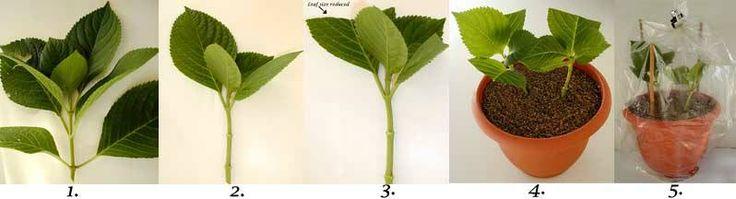 Beworteling hortensia stekken