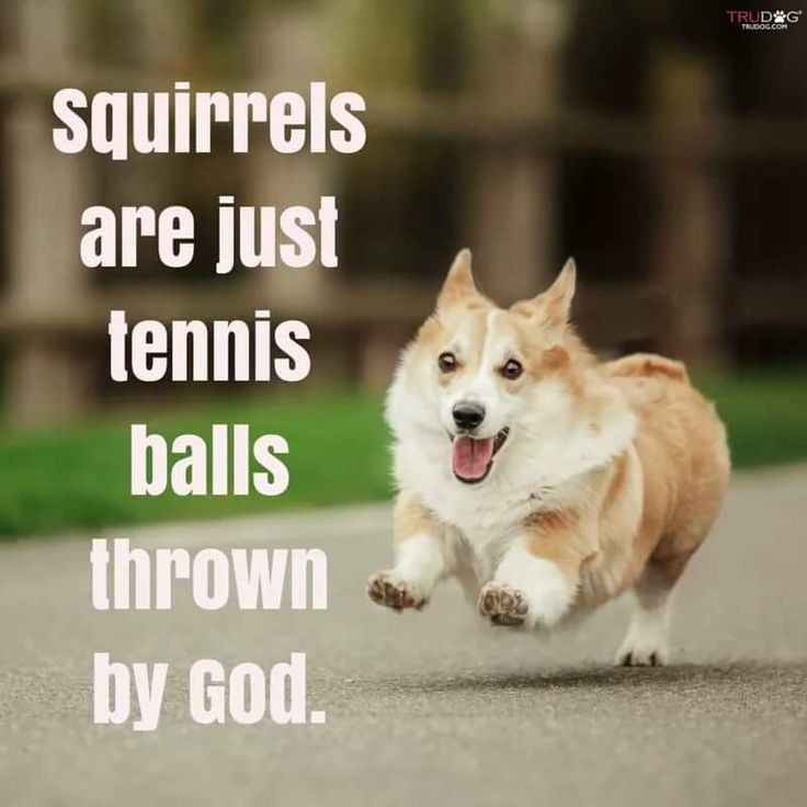 This Corgi Funny is from Karma - Queen of Corgis Z