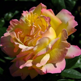 Unique And Unusual Roses Flowerspretty Flowerspeace Roseyellow Pink