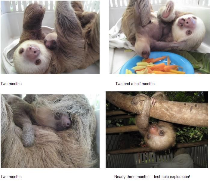 Best Baby Sloth Images On Pinterest Cutest Animals Funny - 5 month old baby and sloth are the most unlikely of best friends