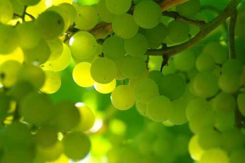 зелёные фото виноград: 20 тыс изображений найдено в Яндекс.Картинках