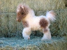 fuzzy miniature horse breeds - Google Search
