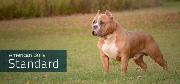 "American Bully.  UKC: ""[it] developed as a natural extension of the American Pit Bull Terrier. The APBT has maintained a characteristic appearance and temperament for over 100 years. .. several types evolved from the parent breed, with one in particular taking on a specific build and structure that is so unique it was wise to recognize it as a different breed altogether. That being the American Bully breed."" http://www.ukcdogs.com/Web.nsf/Breeds/CompanionDog/AmericanBully"