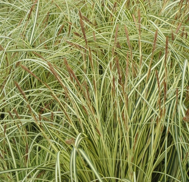 17 best images about grasses and grass likes evergreen for Top ten ornamental grasses