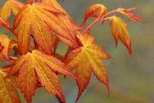 Acer palmatum 'Ueno yatsubusa'