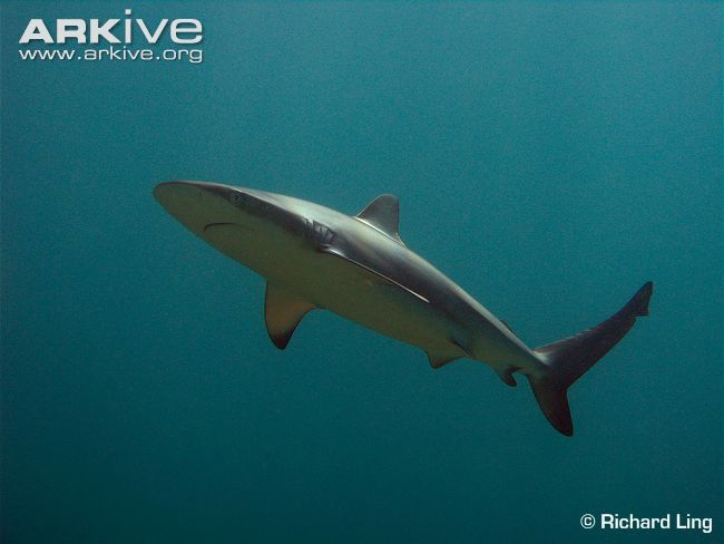The dusky shark is a large, yet relatively slender-bodied species, with a distinctly rounded snout and a low ridge running between the front and rear dorsal fins. The upperparts of this species vary from bronzy-grey to blue-grey, while the underparts are white. Juveniles also have dusky tips on most fins, but these become inconspicuous in the adults.