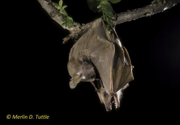Halloween PSA: More Bat Species Appearing On Endangered List, And Here's Why It Matters - Minor epauletted bats mating in Kenya
