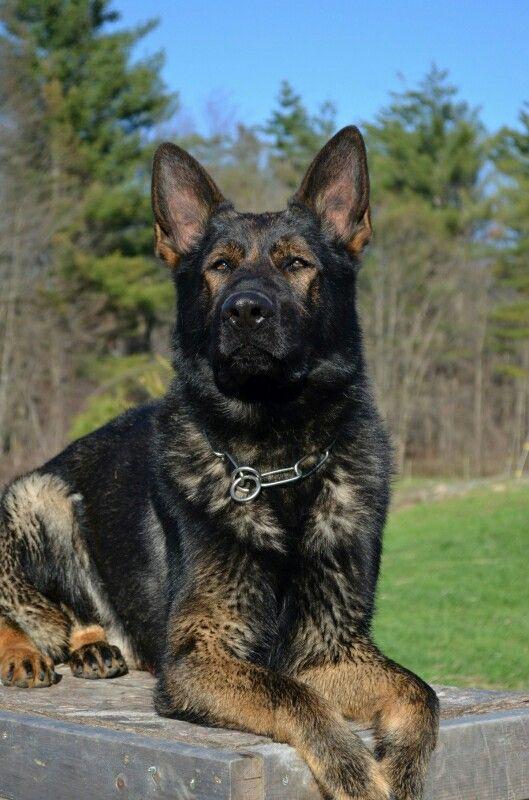 Gorgeous dark/black sable german shepherd http://www.vtgsd.com/