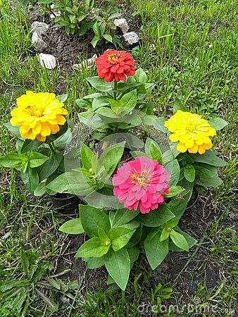 Blooming colorful zinnias in garden