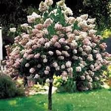 HYDRANGEA PINKY WINKY  Bloom Color: 2 tone Pink/White Height: 16 ft Fall Interest