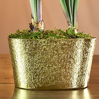 Grand Diva Amaryllis in Textured Gold Container