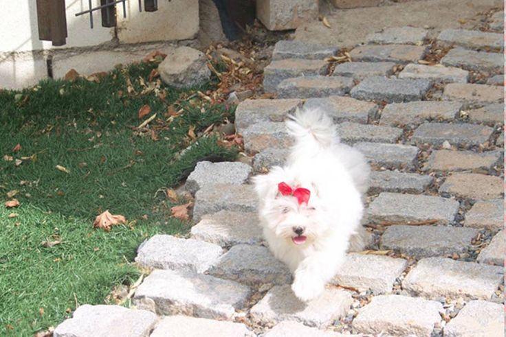 Cachorro de Maltés con cuatro meses de edad. Se aprecia el crecimiento de su precioso manto blanco.