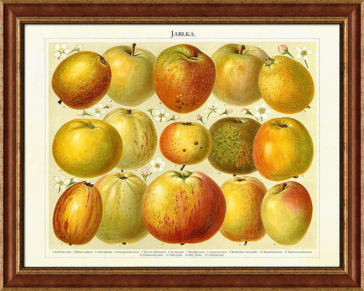 Staré odrůdy jablek včetně vyobrazení květů, kresba z konce 19. století
