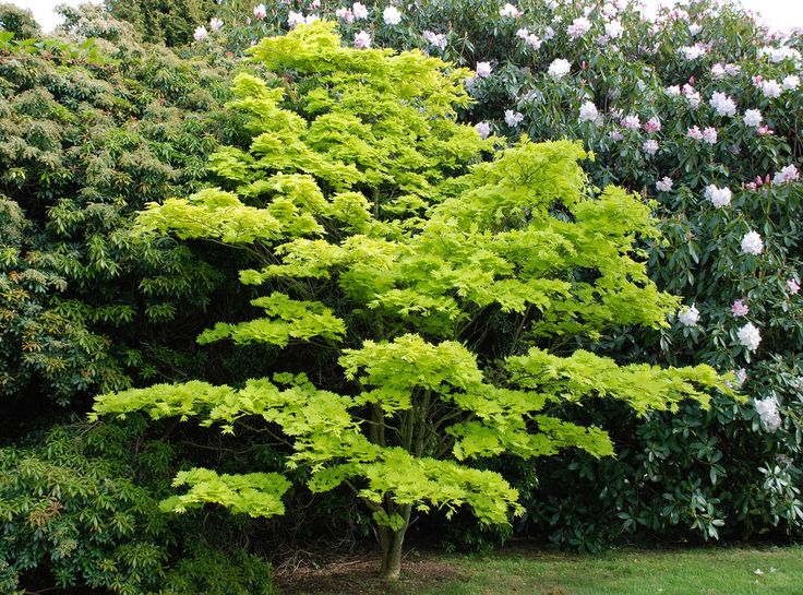 8 best small trees for sunset zone 17 images on pinterest for Maple trees for small gardens