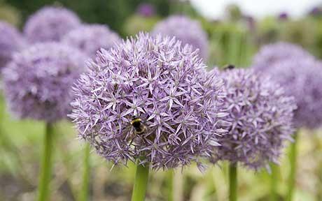 I just LOVE Alliums!
