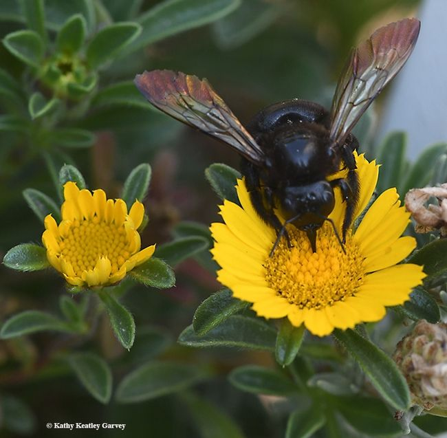 In Size The Female Valley Carpenter Bee Xylocopa Varipuncta