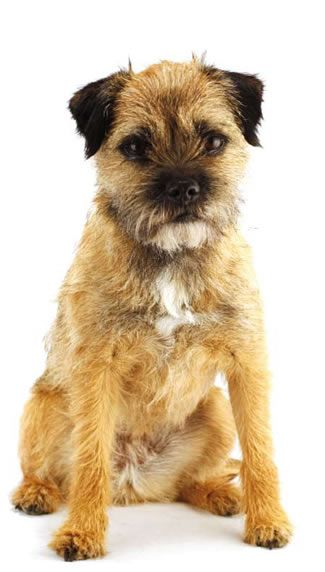 If I could have a dog I would love to have a border terrier.