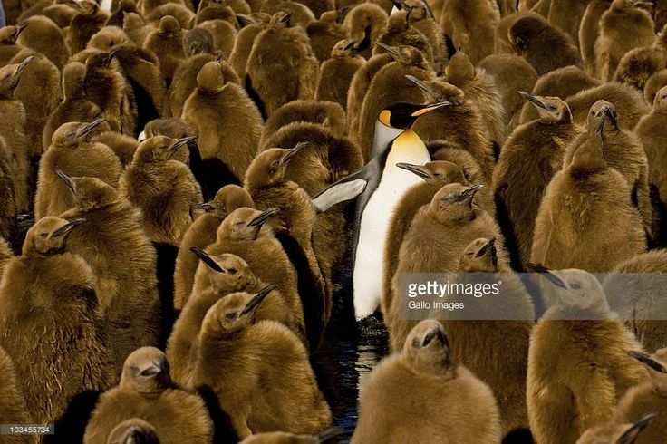 King Penguins breed on the subantarctic islands at the northern reaches of Antarctica, South Georgia, and other temperate islands of the region. The total population is estimated to be 2.23 million pairs and is increasing.