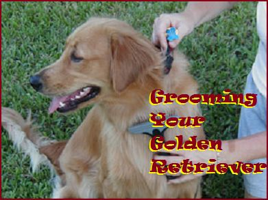 The Golden Retriever is a beautiful, athletic sports dog that is best known for its loyal, friendly temperament and thick, golden coat. They are very smart, loving dogs that are both eager to please and easy to train. A busy dog owner need not fear grooming either. The golden retriever's...