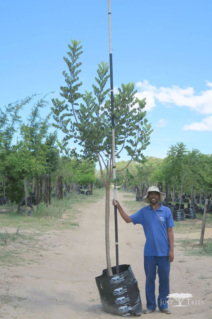 100 L Carob Tree, a beautiful evergreen tree, native to the Mediterranean. With its thick green foliage, it works well as windbreak or a screen for privacy.