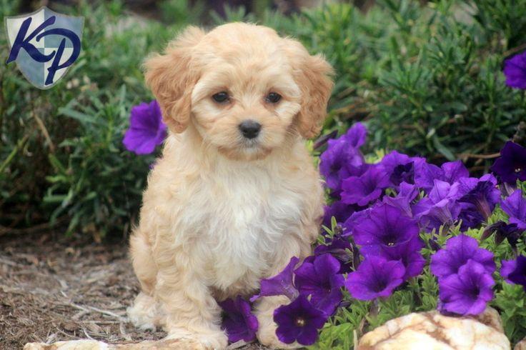 Blossom – Cavapoo Puppy  #cavapoo