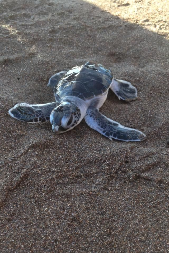 cool I just got back from watching baby sea turtles hatching in Costa Rica. I think this belongs here.